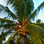 Cursed coconuts on Fuvahmulah allegedly used to disrupt elections