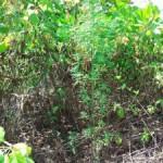 Marijuana plant found in Noonu Maafaru