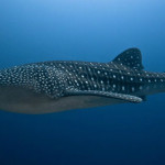 Rare sightings expected at second Whale Shark Festival