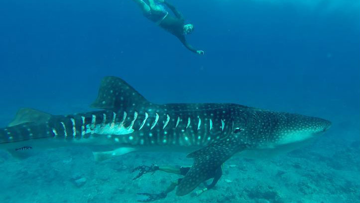 Whale shark sustains serious injuries from boat propellers